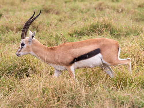 Thomson gazelle, male, Amboseli, Kenya