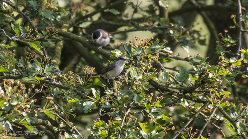 Grauschnäpper (Muscicapa striata) • Spotted Flycatcher • 19A-2625