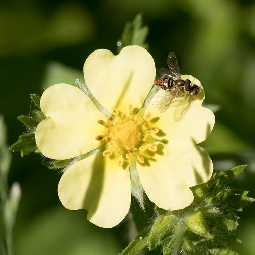 Syrphid Love