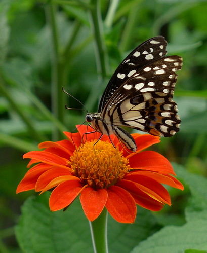 Common lime butterfly on a Mexican sunflower..  Kalasin,  Thailand