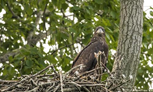 Eaglet......