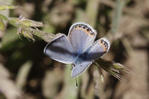 Acmon Blue