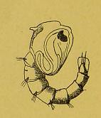 This image is taken from Page 32 of Les moustiques et la fièvre jaune [electronic resource]