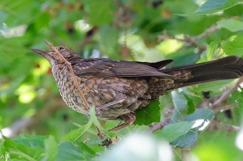 Mirlo común (juvenil) / Common blackbird (juvenile) (Turdus merula)