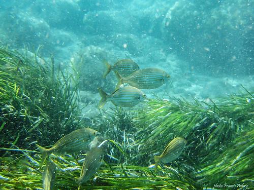 Iles Grecques - Santorin - Banc de Saupes (Sarpa salpa)