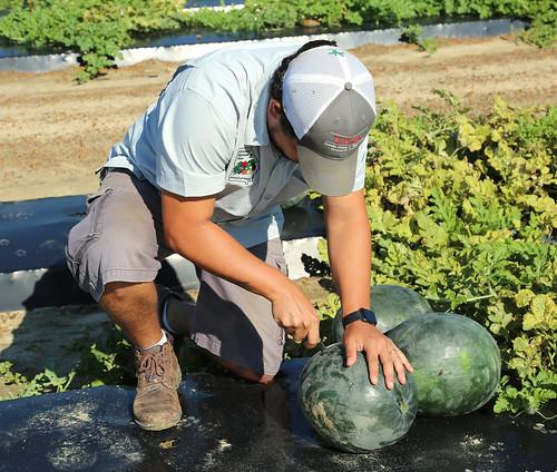 da Silva melons 2