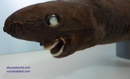 Abyss shark taxidermy. Sleeper shark. Somniosus rostratus.