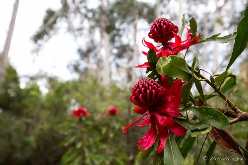 Waratah Flower 7628