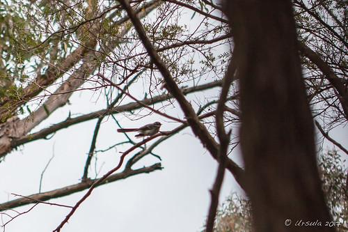 Songbird 3420