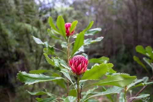 Waratah Flower 7630