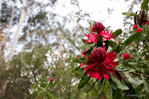 Waratah Flower 7624