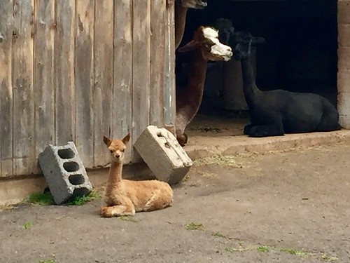 There's a new baby at my local alpaca farm!