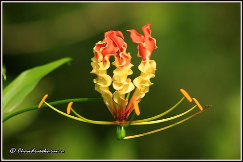 8885 - glory lily