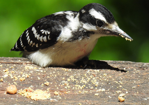 Young Hairy Woodpecker Eating On its Own
