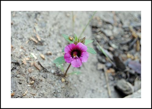 Alta Sierra Wildflowers