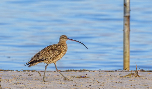 one endangered eastern curlew #2
