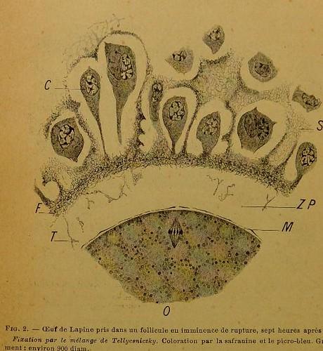 This image is taken from La constitution de la zone pellucide et les relations de l'épithélium folliculaire avec l'ovule dans l'ovaire de la lapine