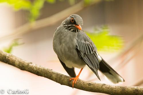 El zorzal patirrojo (Turdus plumbeus)
