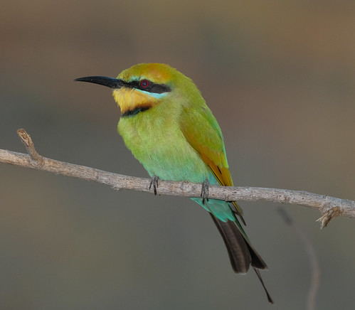 Rainbow Bee-eater - Casuarina Coastal Reserve, Darwin Harbour, NT, Australia