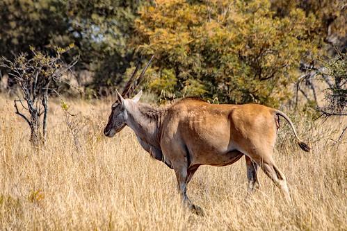 Strolling eland