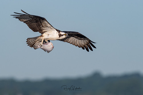 Osprey of the Jersey Shore | 2019 - 16