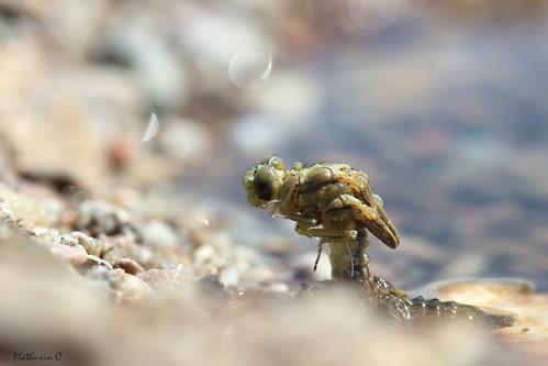 La métamorphose - Gomphidae