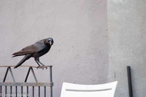 Corneille sur rambarde - A crow on a guardrail
