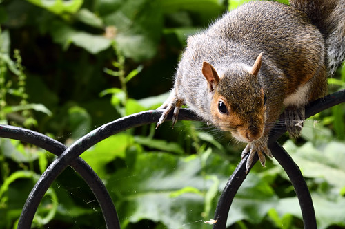 Sciurus Carolinensis (Eastern Gray Squirrel) in St James's Park, London  -  (Selected by GETTY IMAGES)