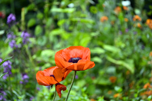 Poppies (sub family Papaveroideae)  (Selected by GETTY IMAGES)