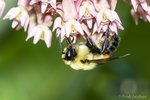 Brown-belted Bumble Bee (Bombus griseocollis)
