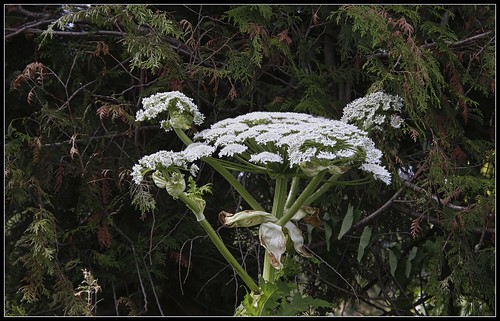 Noxious Weed - Giant Hogweed
