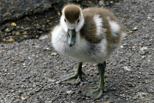 Egyptian goose chick (Alopochen aegyptiaca)  -  (Selected by GETTY IMAGES)