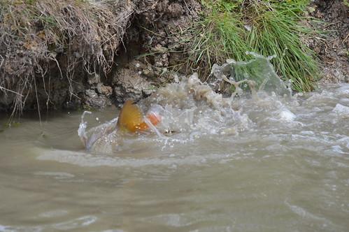 Carp Spawning Male fertilising the females eggs  (67)