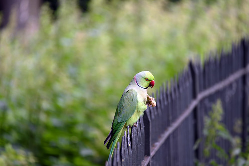 Rose-ringed parakeet (Psittacula krameri)  -  (Selected by GETTY IMAGES)