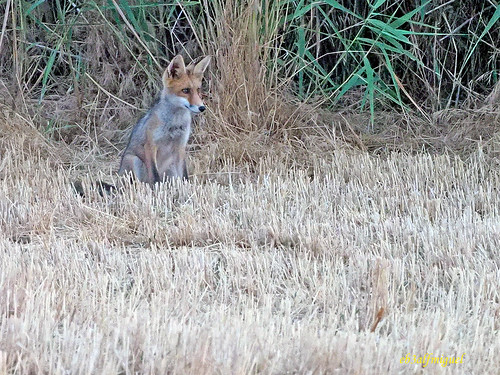 Zorro común o zorro rojo (Vulpes vulpes)  (1)