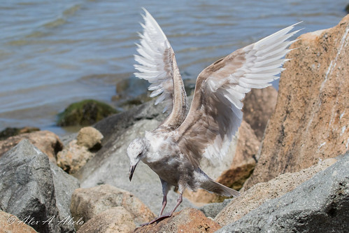 Glaucous-winged Gull - 1st Year (?) -June