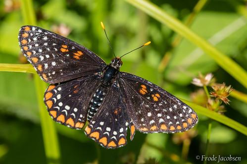 Baltimore Checkerspot (Euphydryas phaeton)