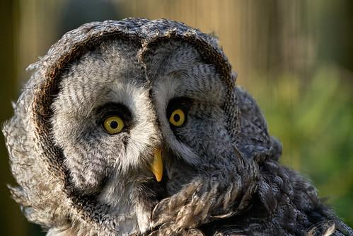 Der Bartkauz - Great Gray Owl (Strix nebulosa)