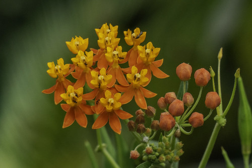 Asclepias curassavica (Tropical milkweed / Algodoncillo)