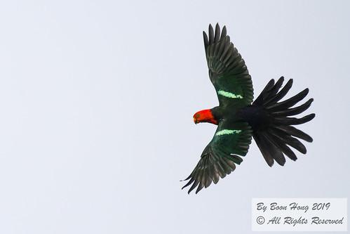 Australian king parrot (Alisterus scapularis)_DSC0516-1