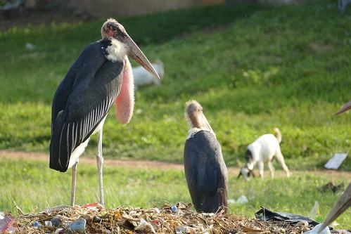 Marabou stork - Kenya and Tanzania, 2019