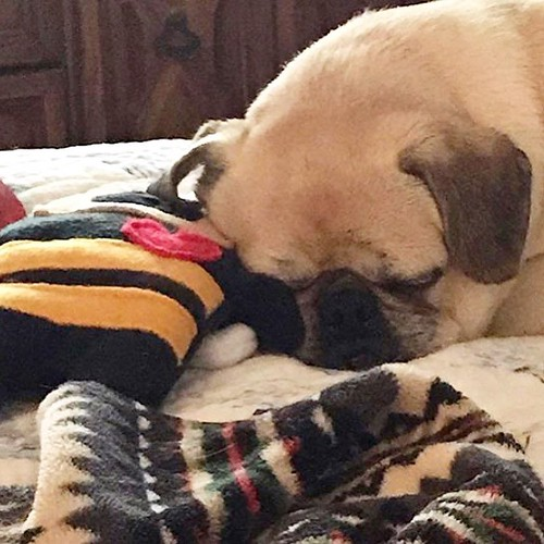 Puggles loves his Buzzy The Pug-a-Bee Bummlie!