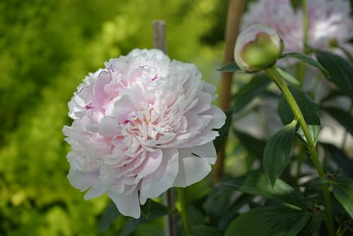 Soft pink peony / Pivoine rose tendre