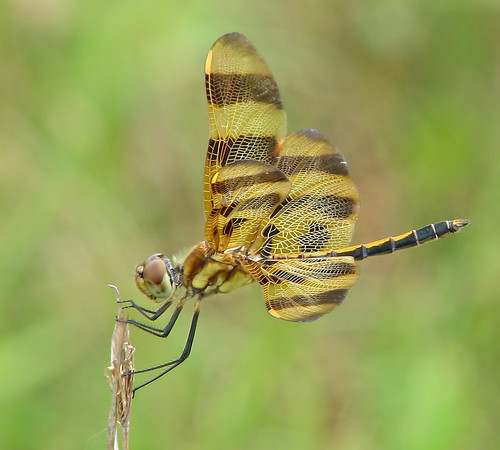 Halloween pennant, male - yesterday