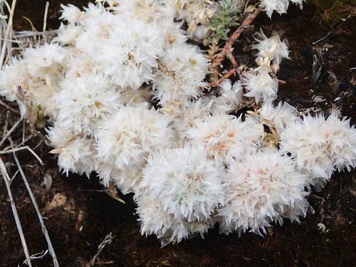 Kopfige Mauermiere an den Mallos de Agüero- Paronychia capitata a