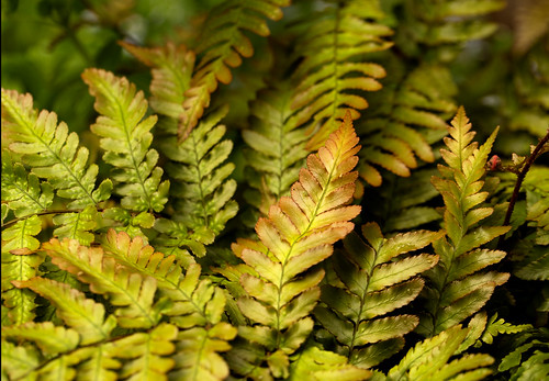 Shield Fern - Dryopteris erythrosora