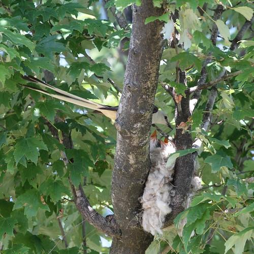 Scissor-tailed flycatcher at nest