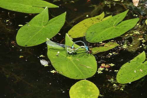 Mating Red Eyed Dragonflies, Monmouthshire-Brecon Canal, Bevan's Lane, Cwmbran 27 June 2019