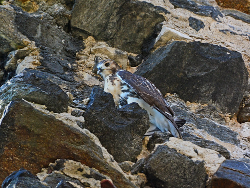 Hawk Fledgling on Cathedral Wall - 3875