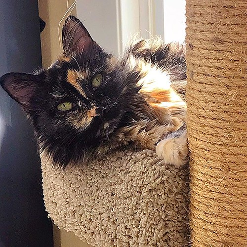 Happy #Caturday from Ms Stella! #stella #loveher #lifewithcats #catsofinstagram #catsagram #instacat #cat #cats #gato #kissa #neko #māo #tortie #tortoiseshellcat #tortoiseshellcats #tortiesofinstagram #cattree #fluffy #pet #pets #rescued #adoptdontshop
